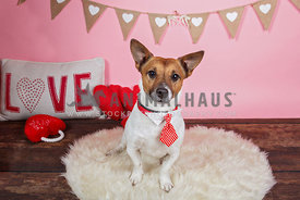 jack russell terrier wearing tie with valentines hearts backdrop