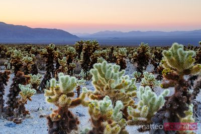 Cholla Cactus garden, Joshua Tree National Park, USA