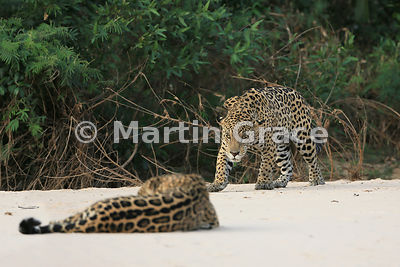 Female Jaguar 'Hunter' (Panthera onca) lies down in front of 'Hero' who watches her very closely, Three Brothers River, Nothe...