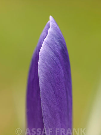 Close-up hatcing purple Crocus flower