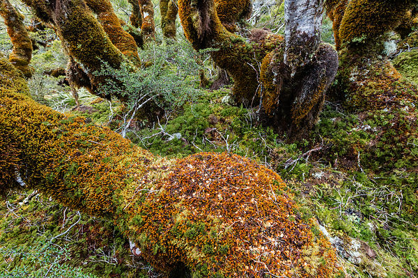 Beech Trees Covered with a Heavy Layer of Moss