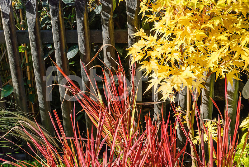 Photo De Imperata Cylindrica Red Baron Et Acer Palmatum Sango
