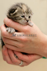 tiny-striped-, tabby, new-kitten-cupped-in-hands
