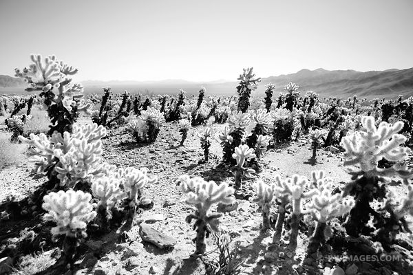 CHOLLA CACTUS GARDEN JOSHUA TREE NATIONAL PARK BLACK AND WHITE