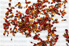 Close up of seeds of coca plant ( Erythroxylum coca ) on white background