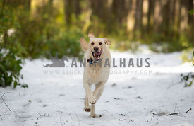 Happy labradoodle dog running in snow in the forest