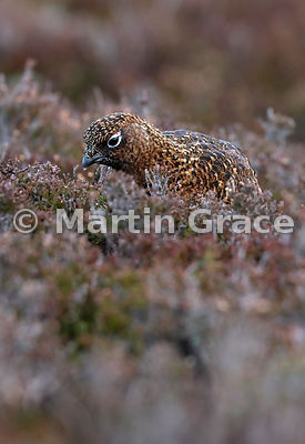 Female Red Grouse (Lagopus lagopus scotica) feeding on Heather (Ling) (Calluna vulgaris), early January, Lochindorb, Scottish...