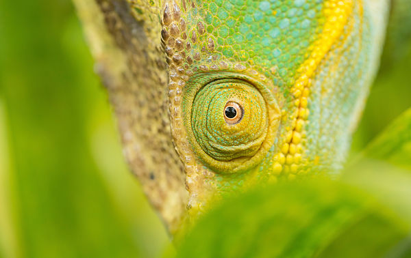 Parson's Chameleon close up