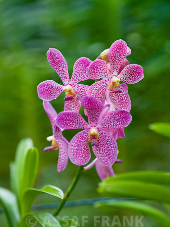 Malaysia, Close-up of Orchid flowers