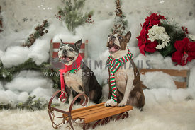 two excited boston terriers with holiday winter background and sled