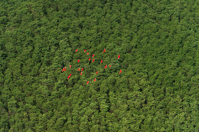 Scarlet Ibis (Eudocimus ruber) flock at Shell beach, North Guyana, South America