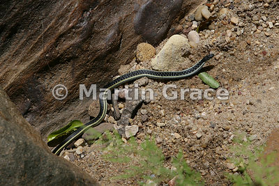 Lateral Water Snake (Thamnosophis lateralis), Maky Canyon, Isalo National Park, Madagascar