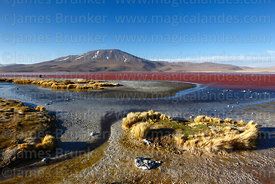 Paja brava grass (Festuca orthophylla) on shore of Laguna Colorada and Cerro Chijlla volcano, Eduardo Avaroa Andean Fauna Nat...