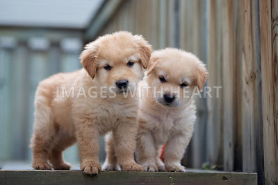 Two young puppies