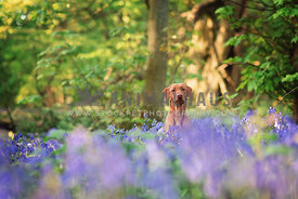 fox red labrador sitting in bluebells