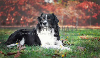 Border Collie mixed breed dog laying in the grass on a fall day.