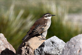 Bar winged cinclodes ( Cinclodes fuscus )