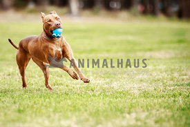 Chocolate pit bull type running in park with blue ball