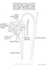 Colouring In: Nephron