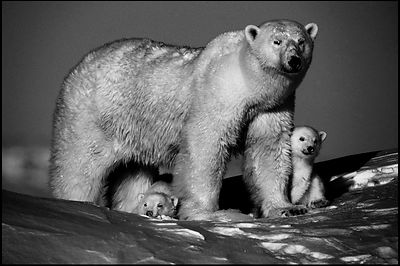 Mother polar bear with cub, Baffin Island Canada 2016 © Laurent Baheux