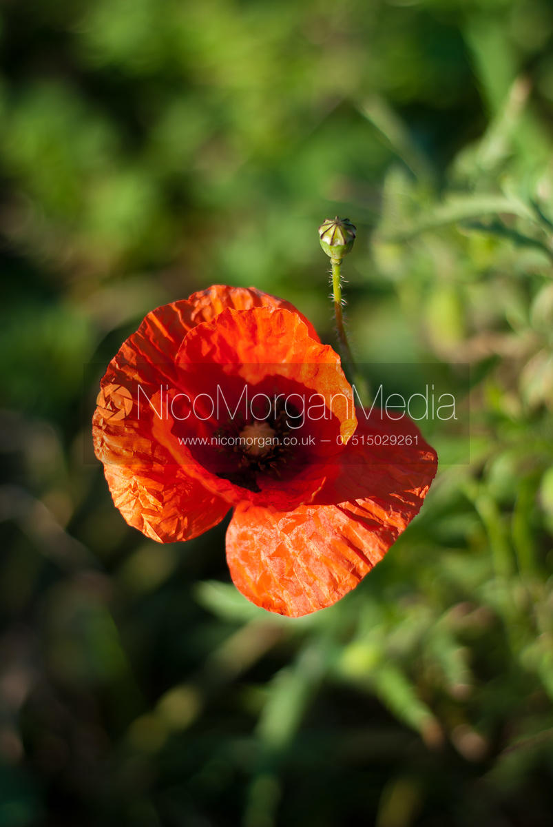 Stock Image - A poppy grows in a field