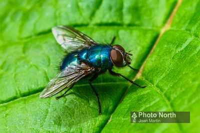 FLY 05A - Blow fly