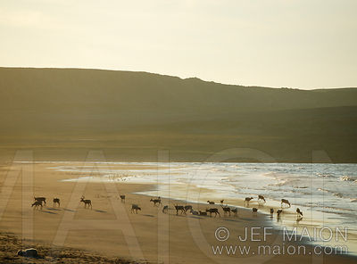 Reindeer herd on beach drinking sea water