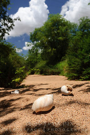 Three empty giant snail shells lie on a sandy dry river bed lined with lush green trees.