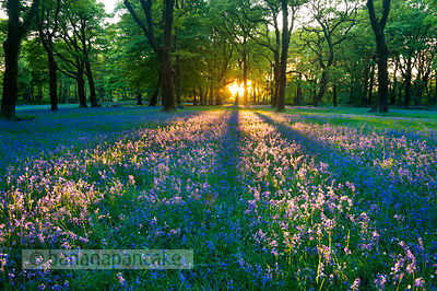 BP2119 - Bluebells at Blackbury Camp, near Beer, East Devon