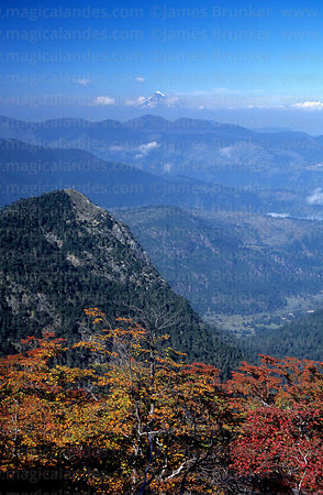 Southern beech or Nothofagus forest in autumn, Lanin volcano in distance, Huerquehue National Park, Region IX, Chile