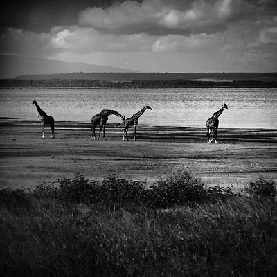 2653-Giraffes_between_earth_and_sky_Laurent_Baheux