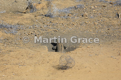 Marine Iguana female (Amblyrhynchus cristatus mertensi) laying eggs down her nest hole, inland at Punta Pitt, San Cristobal, ...