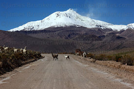 Llamas ( Lama glama ) crossing dirt road in front of active Guallatiri volcano , Las Vicuñas National Reserve , Region XV , C...