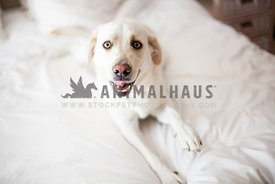 white labrador on the bed looking at camera with a smile