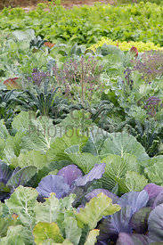 Cabbages, kale, lettuces etc in kitchen garden