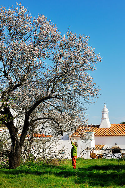 Almond tree blossom. Algarve, Portugal