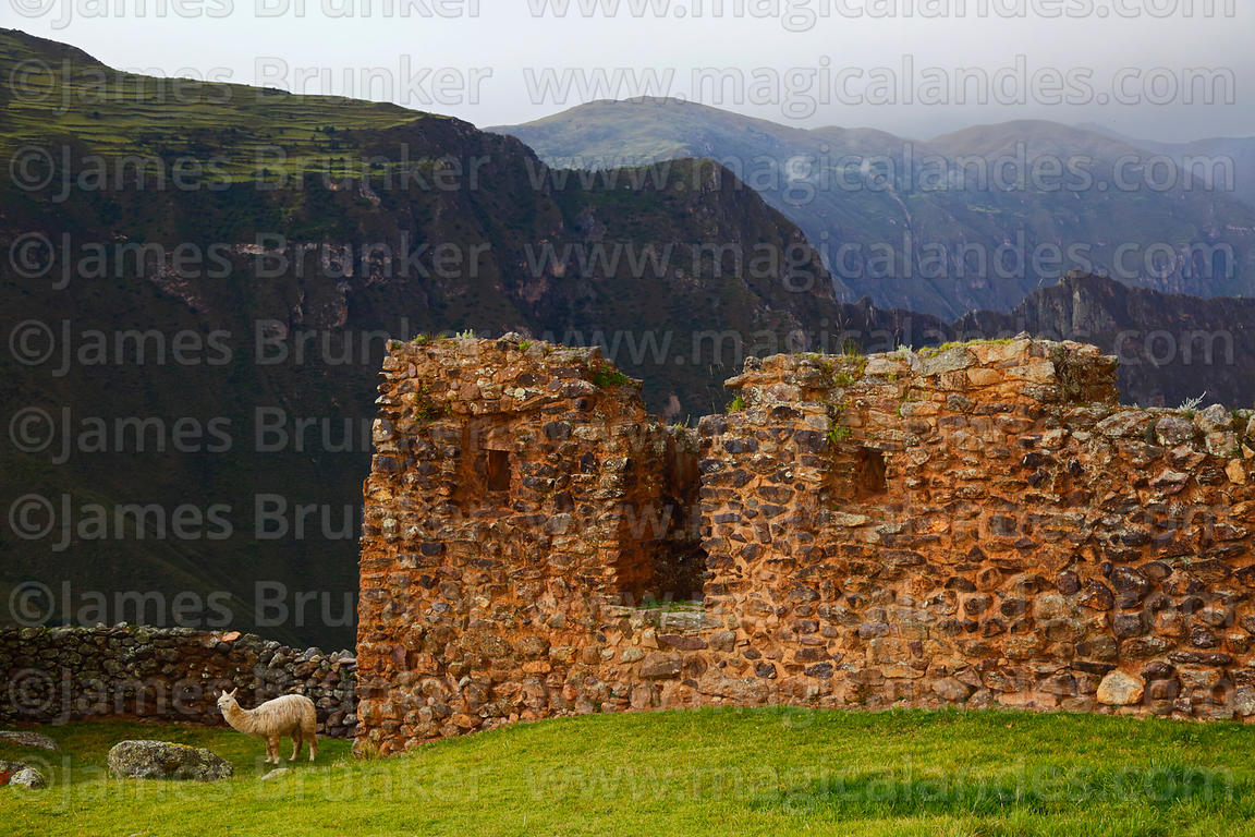 Alpaca (Vicugna pacos) and Inca building in Pumamarca site,  Patacancha Valley, Cusco Region, Peru