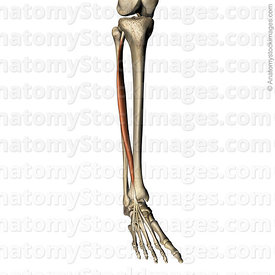 lowerleg-musculus-extensor-digitorum-longus-muscle-tendon-variation-metatarsus-distal-phalanx-fibula-tibia
