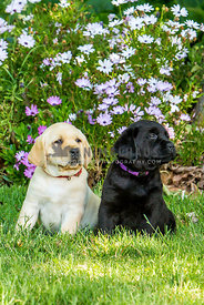 yellow and black Labrador Retriever puppies on lawn with flowers behind
