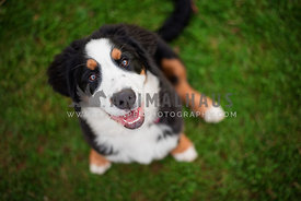 bernese mountain dog puppy looking up at camera