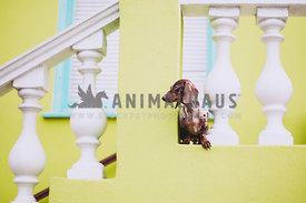 dappled dachshund standing on a yellow balcony looking left