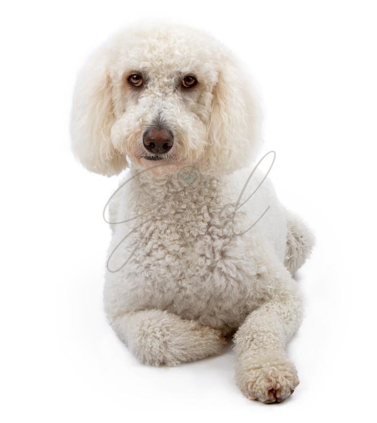 Susan Schmitz Photography | A White Golden Doodle Dog