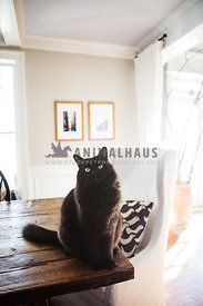 Black cat on a table in a white room