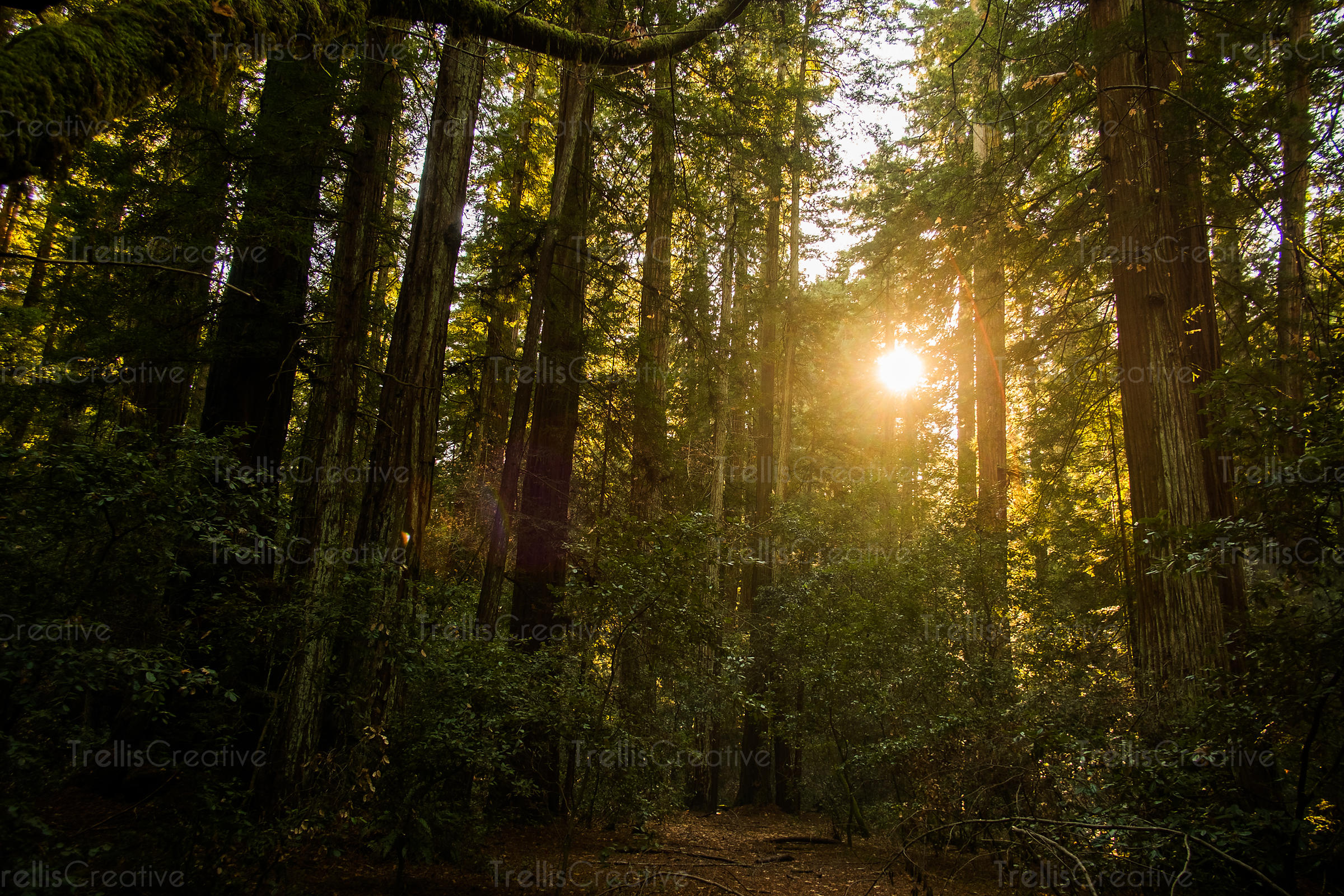 Sunshine as seen through the dense redwood trees