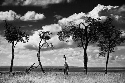 02822-Giraffe-Alone_in_the_bush_Laurent_Baheux