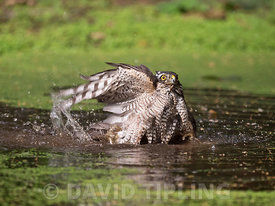 Eurasian Sparrowhawk Accipiter nisus female bathes in a woodland pool near Holt North Norfolk