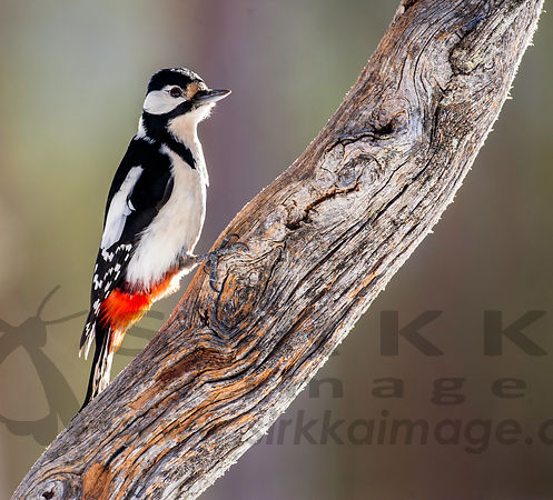 Great Woodpecker