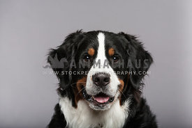 Bernese Mountain Dog head-on in studio with grey background