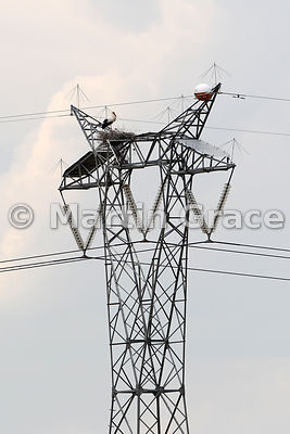 White Stork (Ciconia ciconia) nesting on a power pylon, Almaraz, Extremadura, Spain