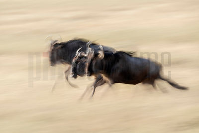 Migrating Wildebeest in the Central Serengeti